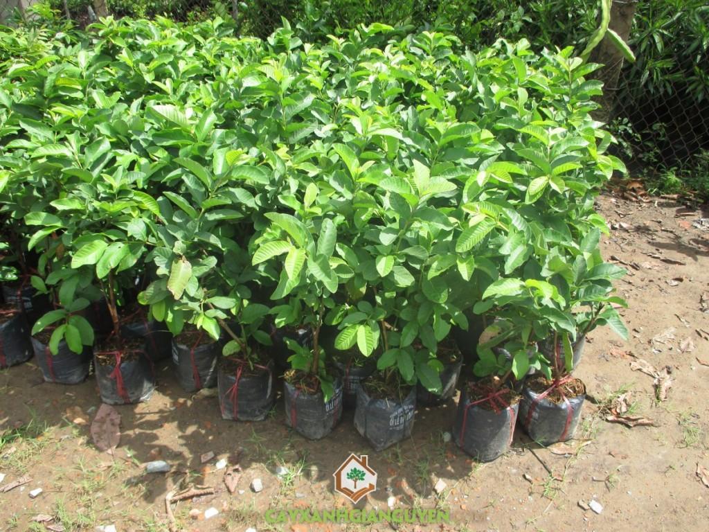 Psidium Guajava,Ổi Lê Đài Loan, Ổi Lê, Cây Ăn Quả, Cây Ăn Trái