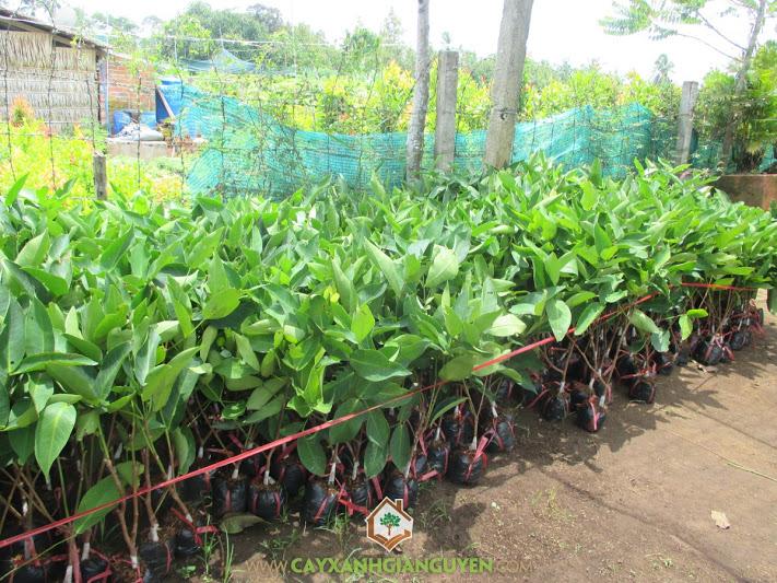 Syzygium Samarangense, Mận An Phước, Mận Chuông, Cây Ăn Trái, Cây Ăn Quả