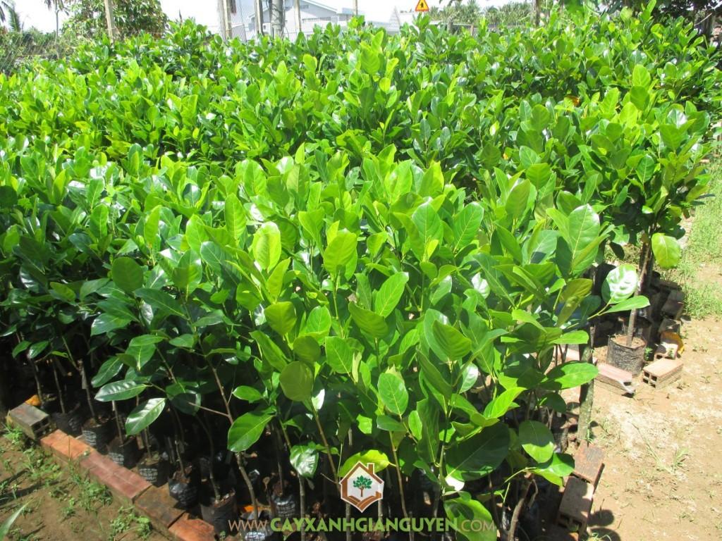 Artocarpus Heterophyllus, Mít Thái Siêu Sớm, Mít Siêu Sớm, Cây Ăn Trái, Cây Ăn Quả