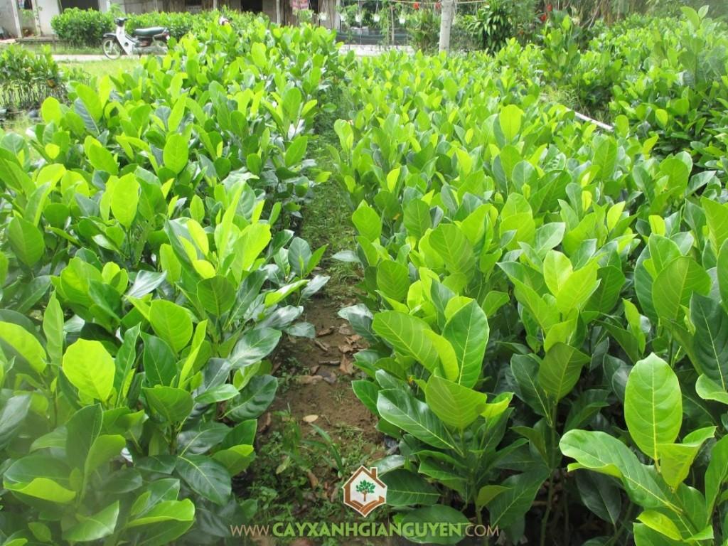 Artocarpus heterophyllus,  Mít Thái Lá Bàng, Cây Mít Thái, Cây Ăn Trái, Cây Ăn Quả