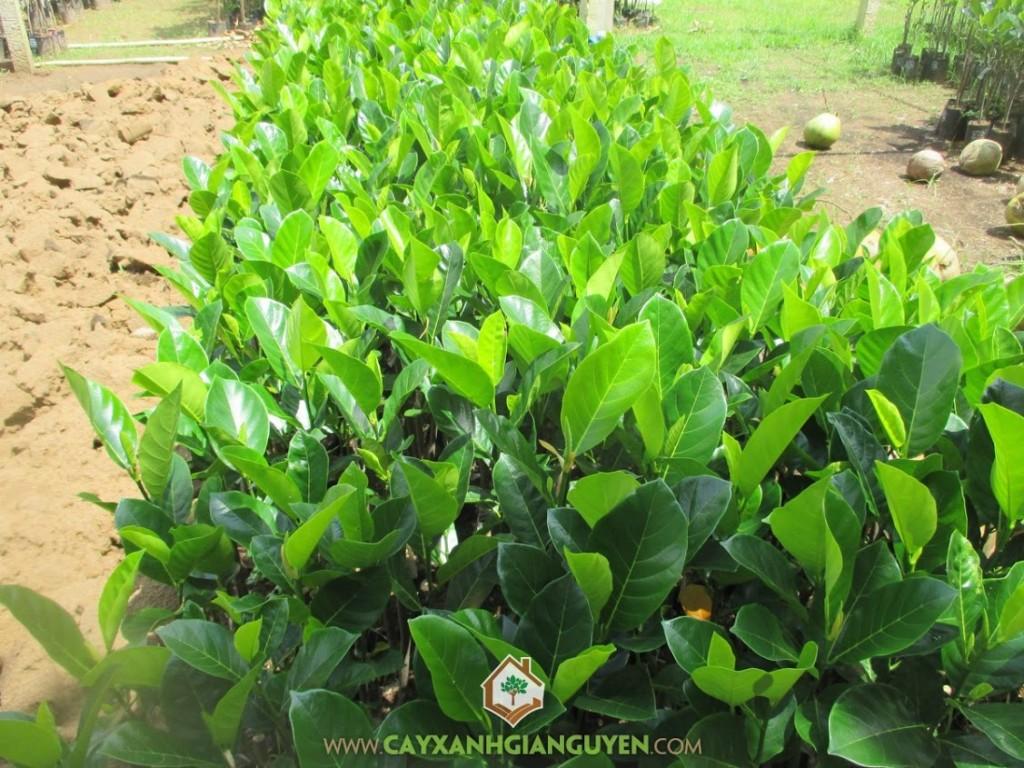 Artocarpus Heterophyllus, Mít Viên Linh, Mít Nghệ, Cây Ăn Trái, Cây Ăn Quả