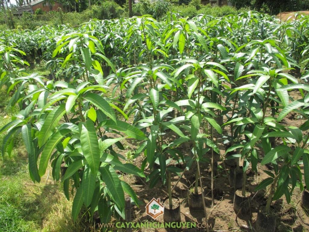 Mangifera indica L, Xoài Thái, Xoài Thái Lan, Cây Xoài, Cây Ăn Trái