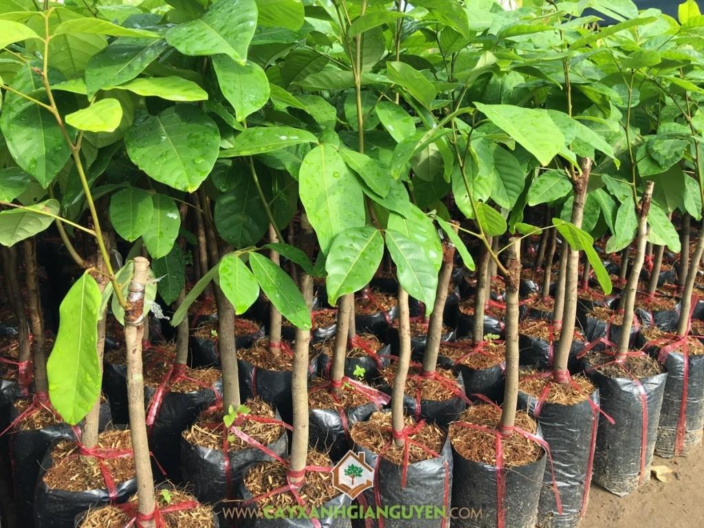 Nephelium Lappaceum, Chôm Chôm Thái, Chôm Chôm, Cây Ăn Trái, Cây Ăn Quả