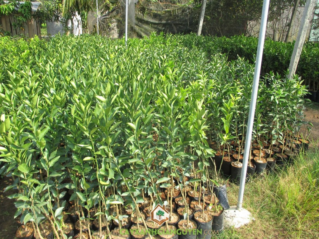Citrus Reticulata Blanco, Quýt Đường, Quýt Ngọt, Cây Quýt, Cây Ăn Trái