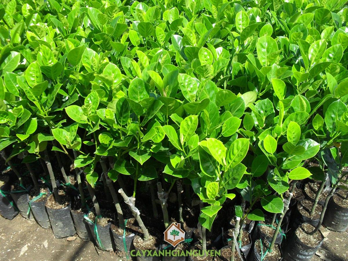 Artocarpus Heterophyllus, Mít Không Hạt, Cây Ăn Trái, Cây Ăn Quả, Cây Mít Không Hạt