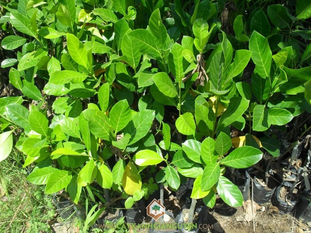 Artocarpus Heterophyllus, Mít Ruột Đỏ, Giống Cây Mít Ruột Đỏ, Cây Ăn Trái, Cây Ăn Quả