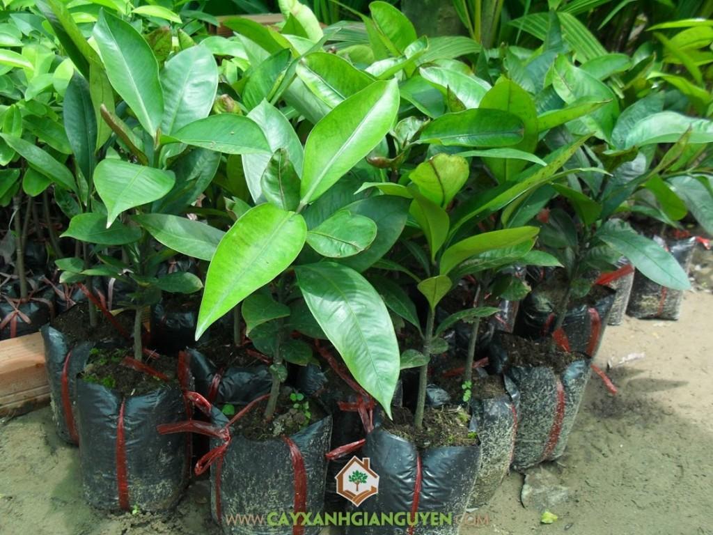 Garcinia mangostana L, Măng Cụt, Cây Ăn Trái, Cây Ăn Quả, Cây Xanh Gia Nguyễn