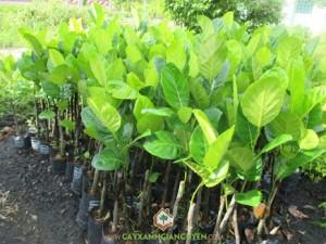 Mít viên linh, cây mít viên linh, cách trồng và chăm sóc, cây xanh Gia Nguyễn, cây mít