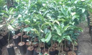 Cây có múi, kỹ thuật trồng cây có múi, cây cam, cây quýt, cây bưởi
