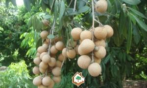 cây nhãn, chăm sóc cây nhãn, cách chăm sóc cây nhãn, cây nhãn giống, kĩ thuật trồng cây nhãn