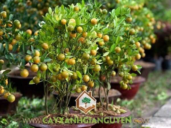 Trồng cây ăn quả trong chậu, cây ăn quả, kỹ thuật trồng cây ăn quả, chăm sóc cây ăn quả trong chậu, kỹ thuật tỉa cành