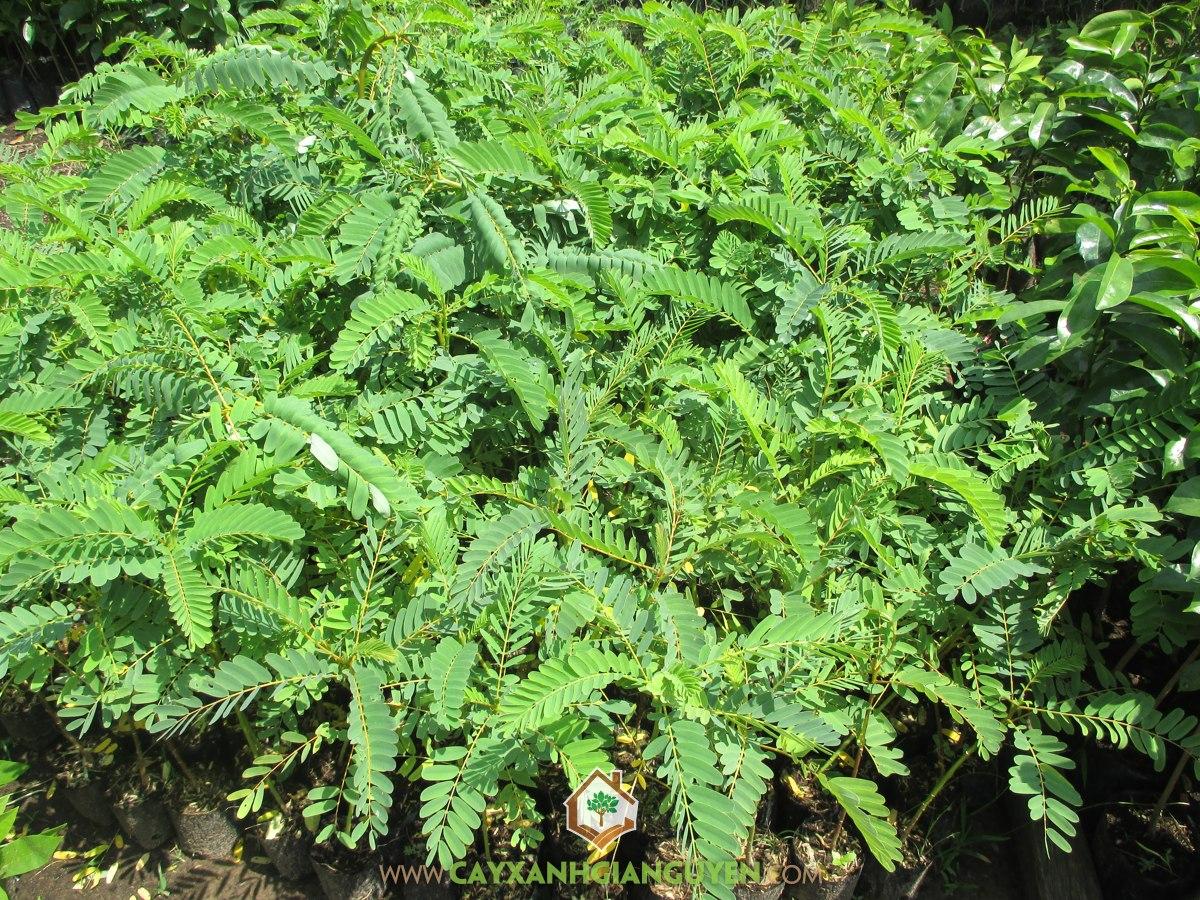 So Đũa Tứ Quý, So Đũa Thái, Sua Đũa Tứ Quý, Sesbania Grandiflora, Cây Ăn Trái