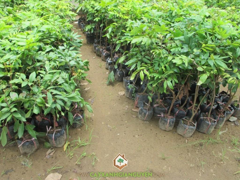 Dimocarpus Longan, Nhãn Quế, Nhãn Tiêu Quế, Nhãn Tiêu Da Bò, Cây Ăn Trái
