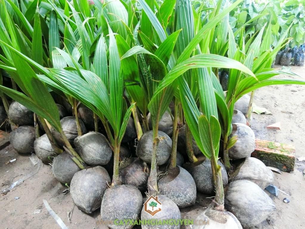 Cocos Nucifera, Dừa Dâu, Cây Dừa Dâu, Cây Ăn Trái, Cây Ăn Quả