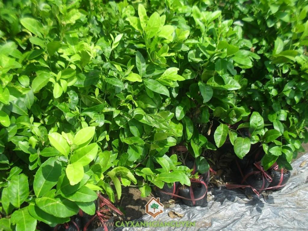 Citrus x Latifolia, Chanh Bông Tím, Cây Chanh, Cây Ăn Trái, Cây Ăn Quả