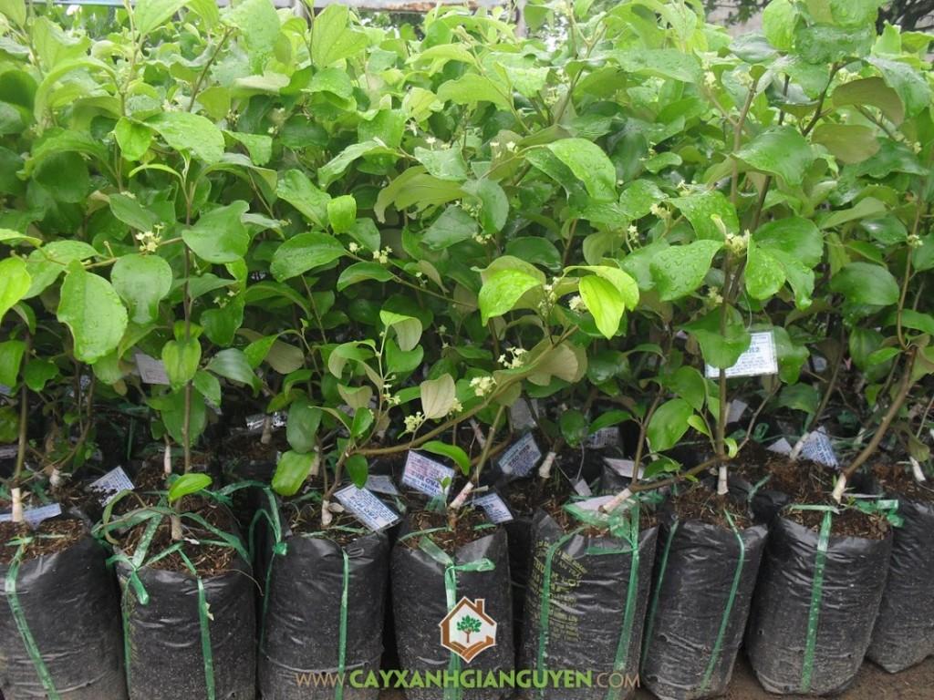 Ziziphus Mauritiana, Táo Thái, Táo Thái Lan, Cây Táo, Cây Ăn Trái