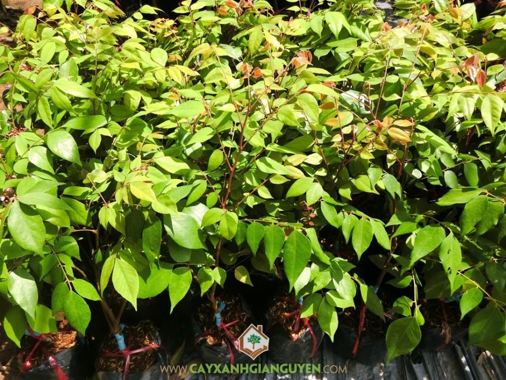 Averrhoa Carambola ( L), Khế Ngọt, Cây Khế, Cây Ăn Trái, Cây Ăn Quả