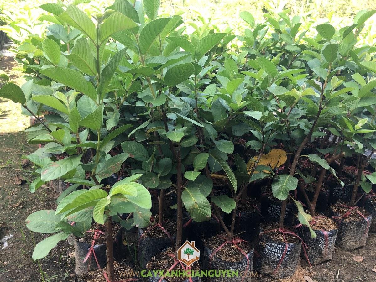 Psidium Guajava, Ổi Nữ Hoàng, Cây Ổi Nữ Hoàng, Cây Ăn Trái, Cây Ăn Quả