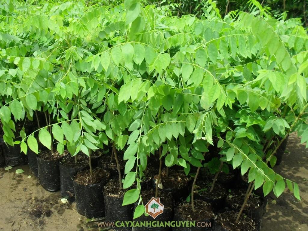 Chùm Ruột, Tầm Ruột, Tầm Duột, Phyllanthus acidus ( L), Cây Ăn Trái