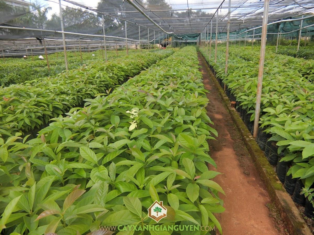 Bơ Booth, Bơ Bút, Bơ, Lauraceae, Cây Ăn Trái