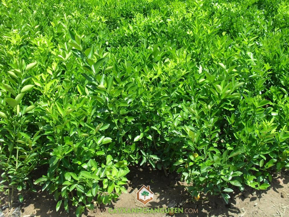Cây Quất, Cây Hạnh, Cây Tắc, Cây Ăn Trái, Citrus Microcarpa