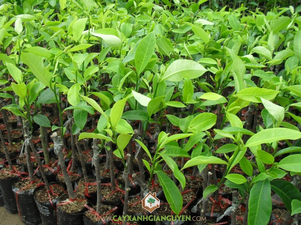 Artocarpus Integer, Mít Tố Nữ, Cây Ăn Trái, Cây Ăn Quả, Cây giống Mít