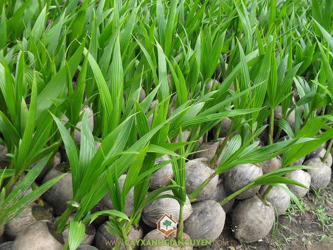 Dừa Dứa, Dừa Xiêm Thơm Thái Lan, Cocos Nucifera, Cây Ăn Trái, Cây Dừa Dứa