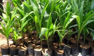 Dừa Xiêm Lùn, Giống Dừa Xiêm Lùn, Giống cây trồng, Cây Xanh Gia Nguyễn, Vườn Dừa Xiêm lùn