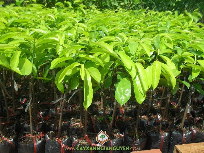 Trồng cây mãng cầu xiêm thái, Mãng cầu xiêm thái, Cây mãng cầu xiêm thái, Hoa mãng cầu xiêm thái, Cây trồng bằng hạt