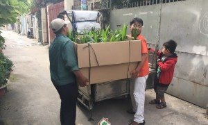 Cây dừa xiêm lùn, Cây Xanh Gia Nguyễn, Vườn ươm Gia Nguyễn, Trồng cây ăn trái, Trồng dừa xiêm