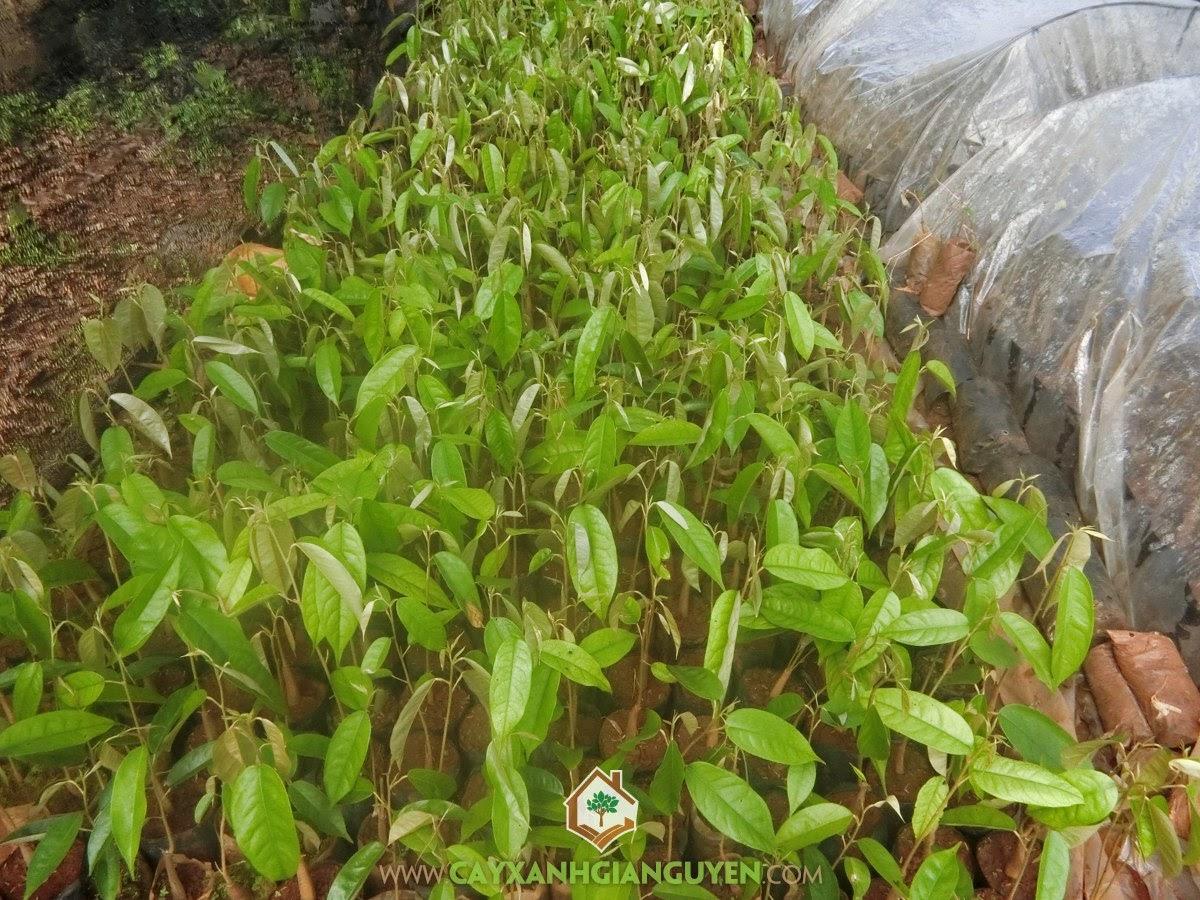 Trồng Sầu Riêng DONA, Kỹ thuật trồng Sầu Riêng DONA, Cây Sầu Riêng DONA, Cây Giống Sầu Riêng, Sầu Riêng
