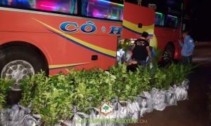 Bưởi da xanh, Dừa xiêm lùn, Giống bưởi da xanh, Vườn ươm Gia Nguyễn, Trồng dừa xiêm lùn, Trồng cây