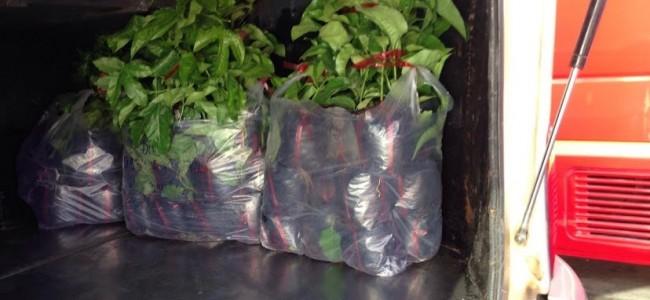 Cây Chanh Dây, Cây Chanh Leo Đài Loan, Vườn ươm Gia Nguyễn, Trồng chanh dây, Cây chanh dây Đài Loan
