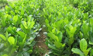 Mô hình trồng mít thái, Mít thái, Mít thái lá bàng, Cây ăn trái, Kỹ thuật trồng và chăm sóc cây mít