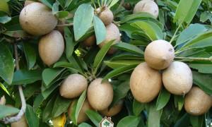 Cây giống sapoche, Giống sapoche, Hồng xiêm Xuân Đỉnh, Vườn ươm Cây Xanh Gia Nguyễn, Trái sapoche