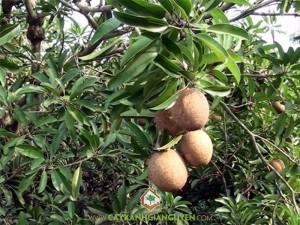 Cách trồng sapoche, Cây sapoche, Cách trồng sapoche nhanh cho trái, Cây giống sapoche, Sapoche
