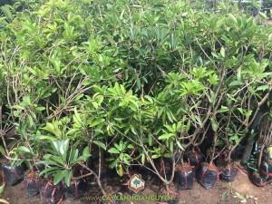 Trồng cây Sapoche, Cây Sapoche, Hồng Xiêm, Trái Sapoche, Lá hồng xiêm