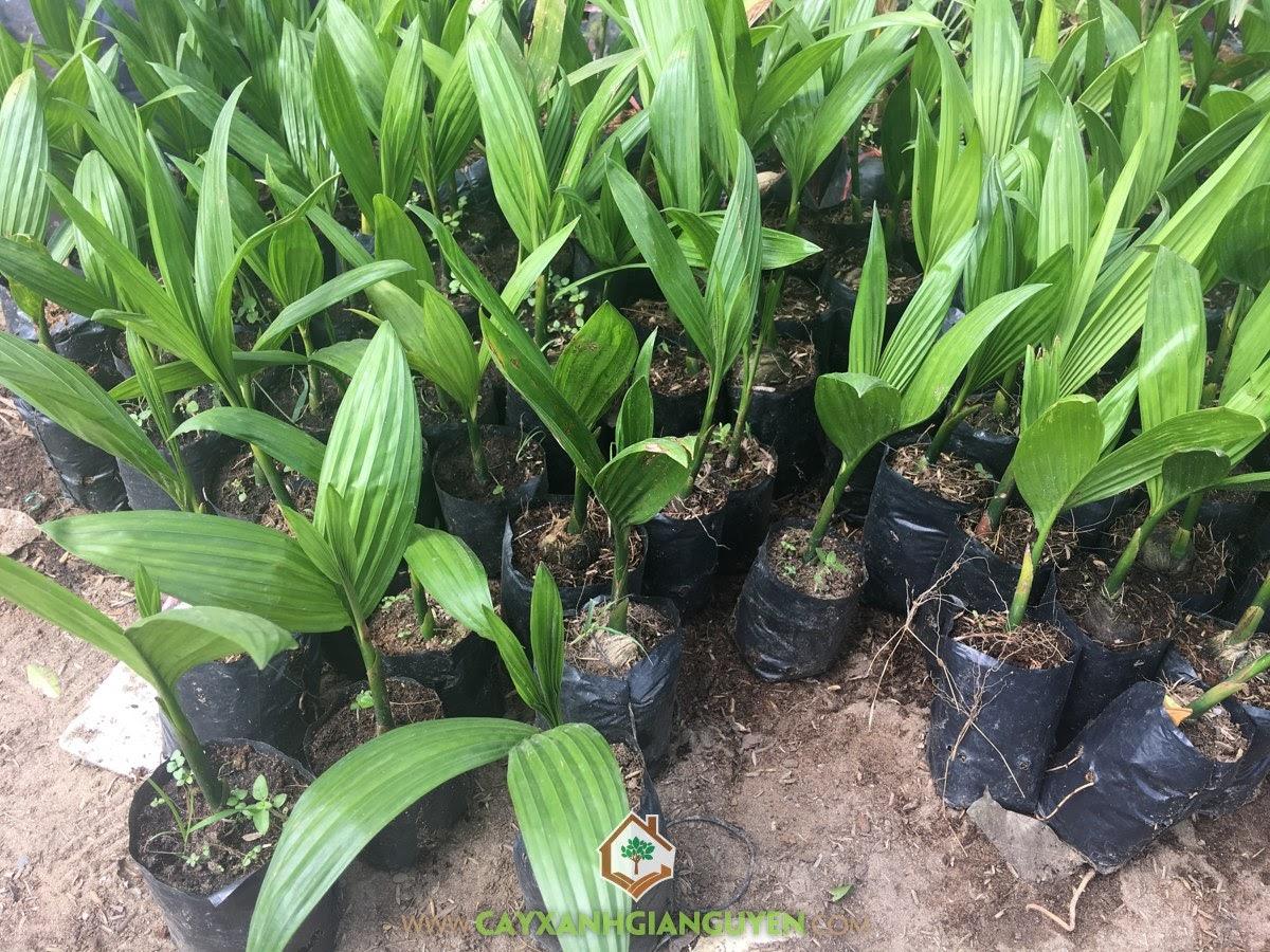 Kỹ thuật trồng Cây Cau Ăn Trầu, Trồng Cau Ta, Cây Cau Ăn Trầu, Giống Cau Ăn Trầu, Cây Cau Mẹ
