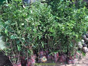 Trồng cây Sơ Ri, Cây Sơ Ri, Cách trồng cây Sơ Ri, Mua cây giống, Cây ăn trái