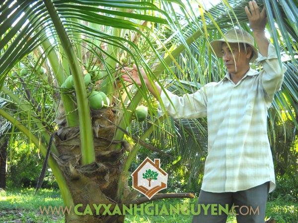 Cây Dừa Dứa, Giống Dừa, Dừa Dứa, Trồng Dừa Dứa, Cây Ăn Trái