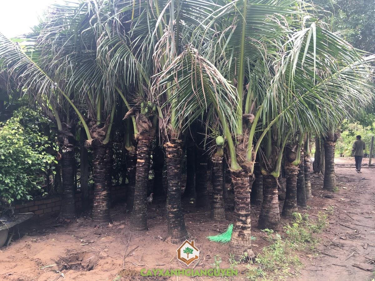 Cây Dừa Dứa,Trồng Dừa Dứa, Vườn Dừa, Trái Dừa Dứa, Giống Dừa Dừa Dứa