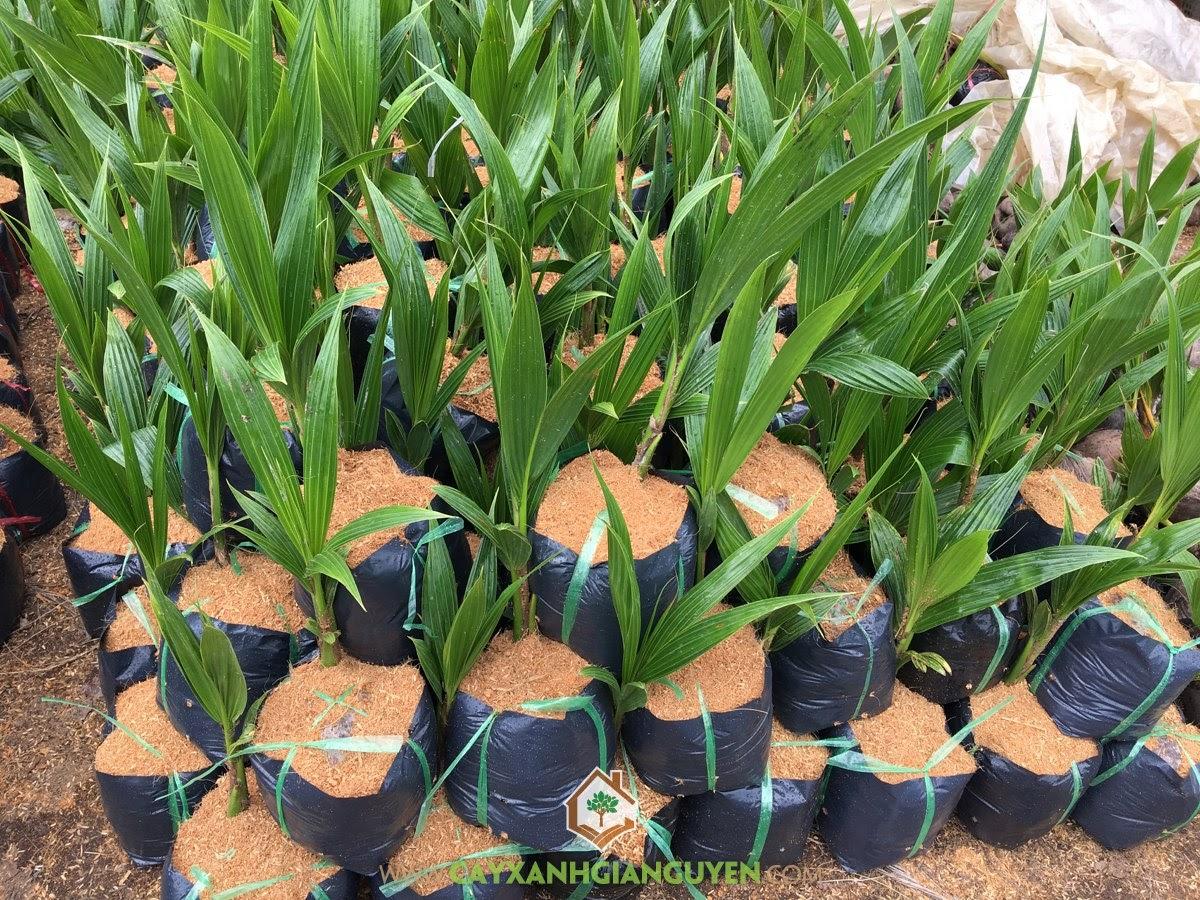 Cây Giống Dừa Dứa, Mua Cây Giống Dừa Dứa, Trồng Dừa, Giá Cây Dừa Dứa Giống, Trồng Cây Giống