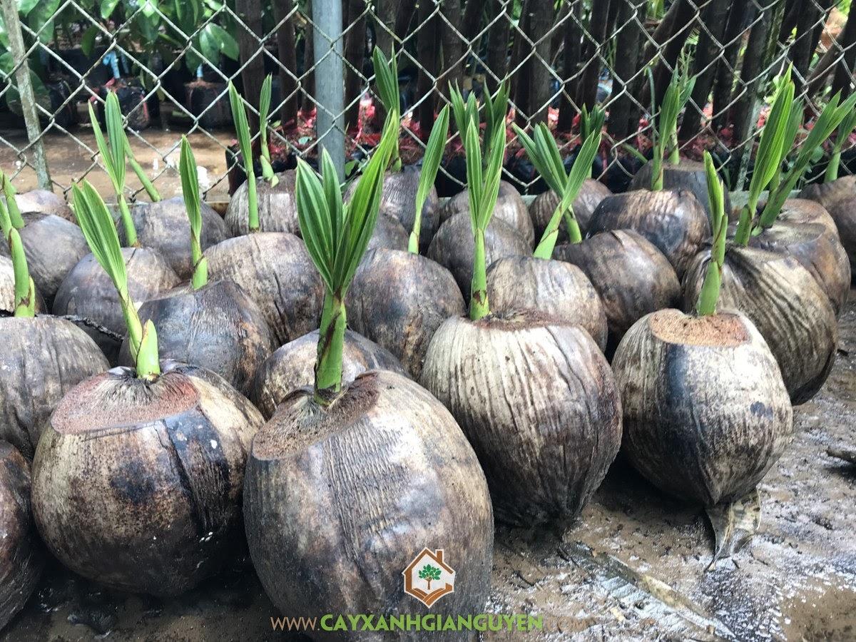 Cây Dừa Dứa Giống, Giá Cây Dừa Dứa Giống, Giống Dừa Dứa, Cây Dừa Dứa, Trồng Dừa Dứa