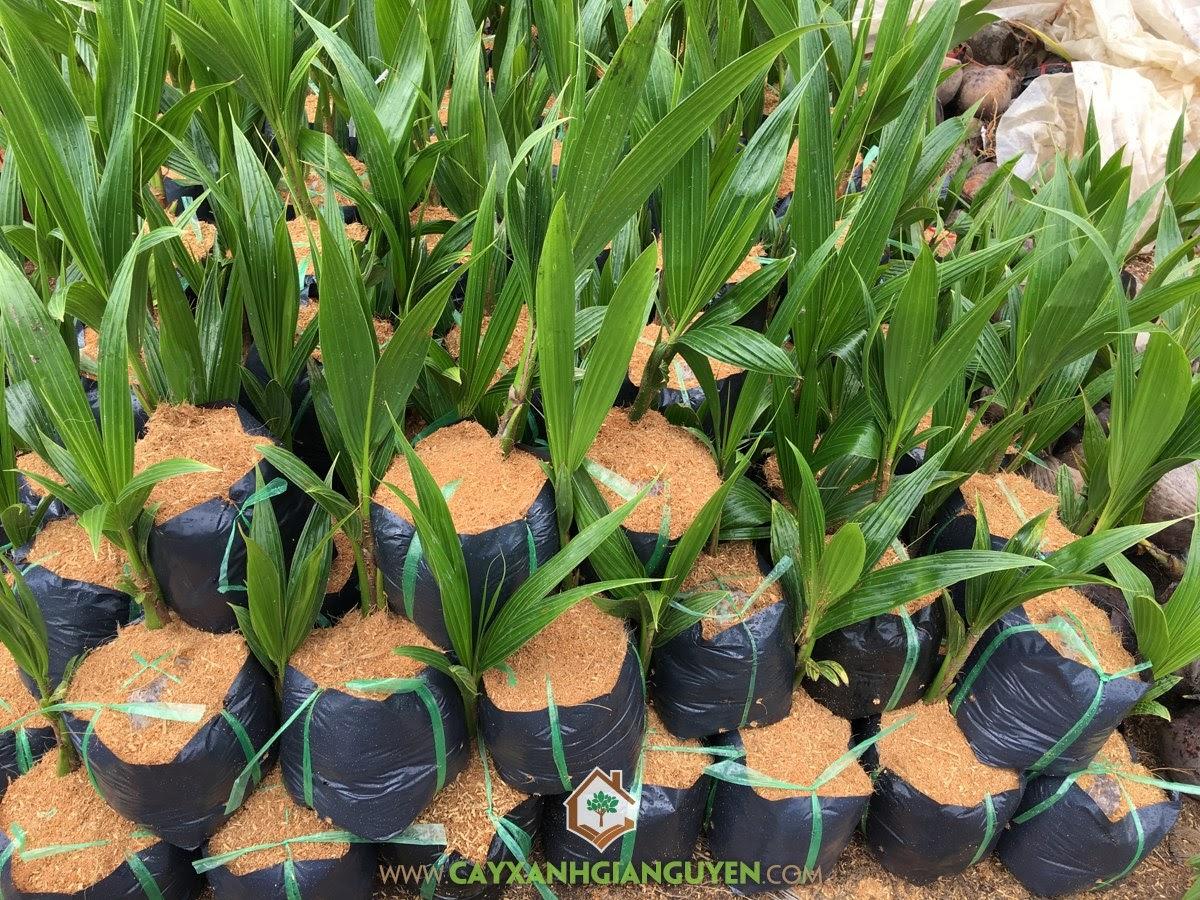 Giống Cây Dừa Dứa, Cây Dừa Dứa Giống, Vườn ươm Cây Xanh Gia Nguyễn, Cây Giống Dừa Dứa, Cây Giống