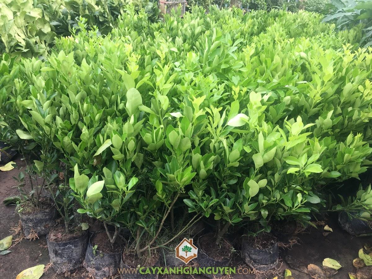Cây Tắc Giống, Vườn ươm Cây Xanh Gia Nguyễn, Cây Giống, Trồng Tắc, Cây Tắc