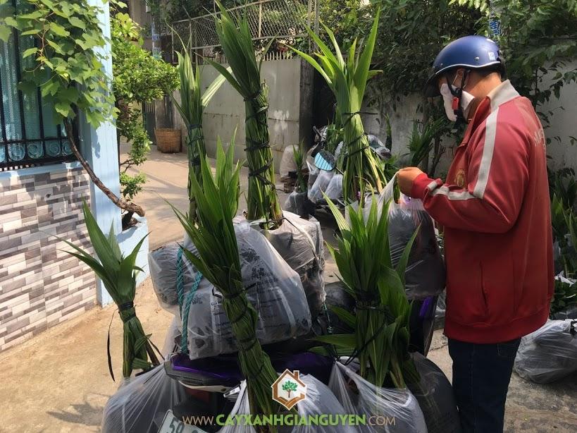 Vườn ươm Cây Xanh Gia Nguyễn, Cây Dừa Xiêm Giống, Cây Ăn Trái, Dừa Xiêm Lùn, Cây Dừa Xiêm Lùn