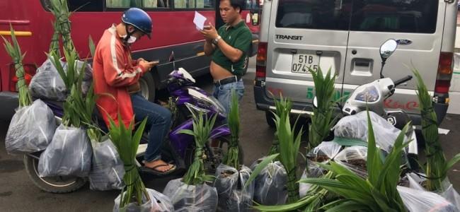 Dừa xiêm lùn, Vườn ươm Cây Xanh Gia Nguyễn, Cây dừa xiêm giống, Cây ăn trái, Dừa xiêm lùn, Cây dừa xiêm lùn