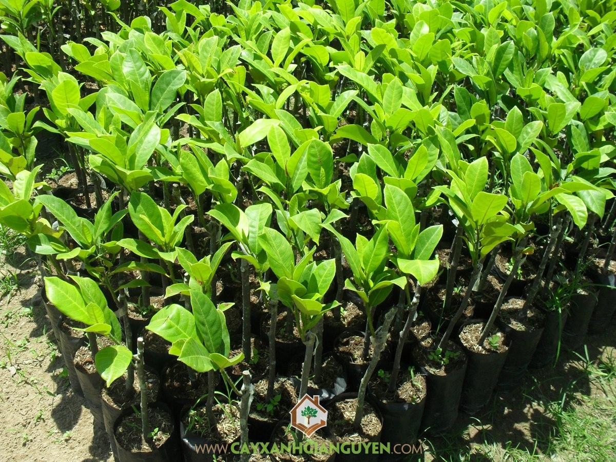 Mít Tố Nữ, Kỹ thuật trồng Mít Tố Nữ, Vườn ươm cây giống, Cây Mít Tố Nữ, Trồng Mít