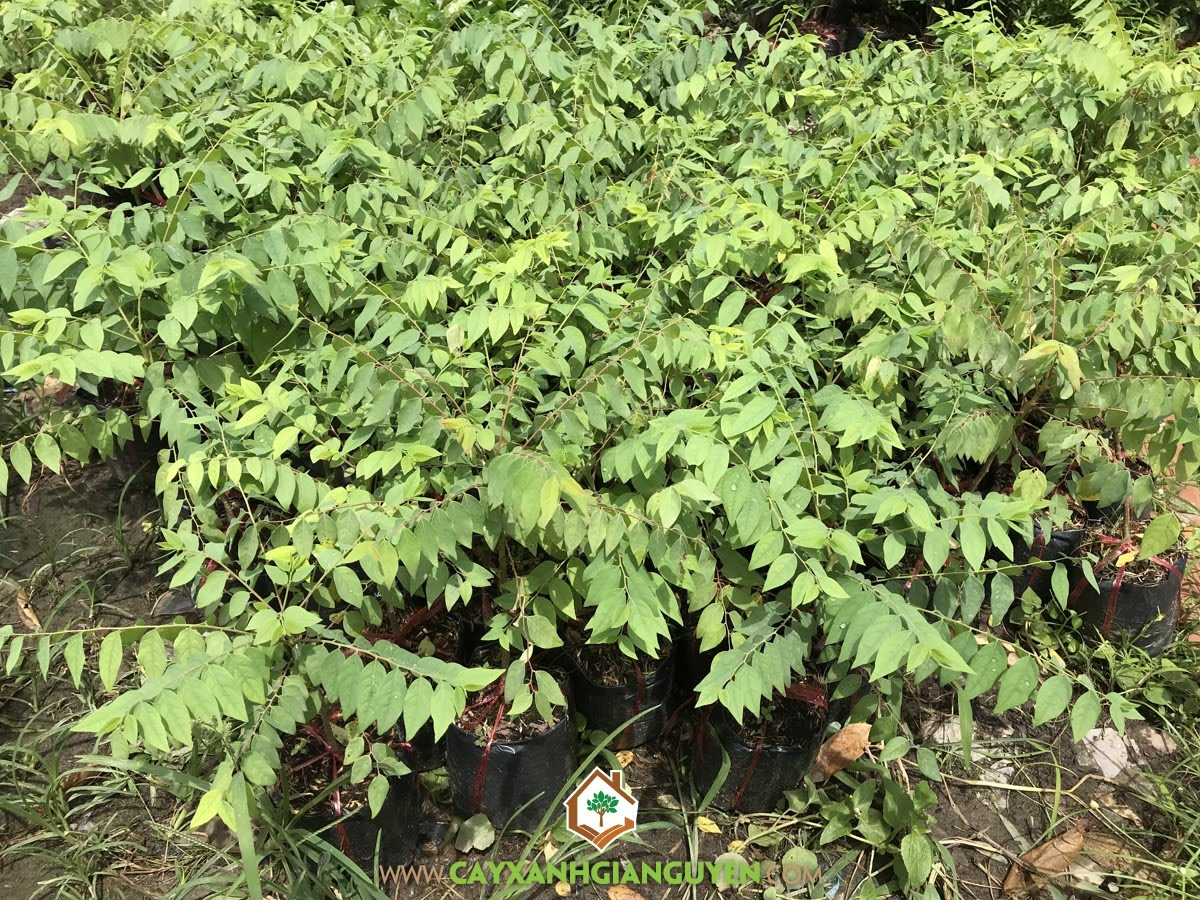 Cây Chùm Ruột, Kỹ thuật trồng Cây Chùm Ruột, Trồng Cây Chùm Ruột, Chùm Ruột, Cây Ăn Trái
