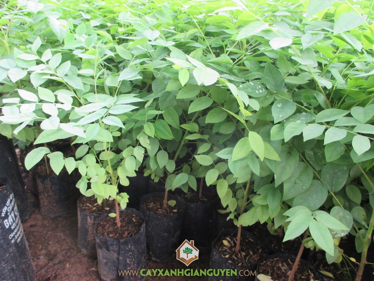Cây Chùm Ruột, Cây Chùm Ruột trồng trong chậu, Chùm Ruột, Cây Ăn Trái, Chùm Ruột Giống